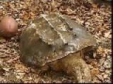 Men Rescue Huge Alligator Snapping Turtle