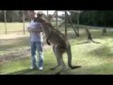 Man Feeds Giant Kangaroo
