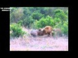 Male Lion Vs Lion ,Who Win,,????? HD