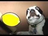 Most Funny Dogs Reacting To Lemons Compilation 2014 NEW
