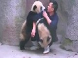 Mischievous Baby Pandas Wrestle Keeper Into Submission