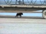 Muskox Surround Their Young When Under Attack, Mother Cow Was Separated