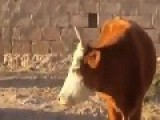 Mad Cow - Funny