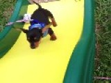 Mini Dachshund Fails To Climb Slide