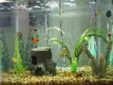 My Adult Platy 20 Gallon Tank
