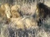 Male Lion Trespasses On Other Male Lions Territory!!