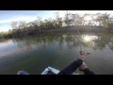 Murray Cod Swallows Large Duck Off Surface