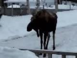 Moose Enjoying A Stroll Takes A Bail