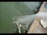 Net Fishing Mullets At Wharf