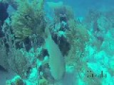 Nurse Shark Forages Through Beautiful Coral