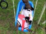 Nigerian Dwarf Goat Has Fun In The Springtime Sun