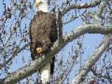New York City Bald Eagles