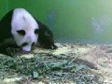 New Panda Triplets - Watch Mom And Newborns