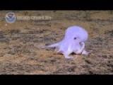 New Species Of Octopus Caught On Camera