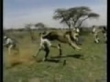 One Shot Separating From Life And Death, Lion Charges Hunter