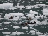 Otters Chilling Ice