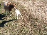 One-Day-Old Baby Goat Leaps Takes Its First Steps