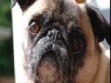 Our Late Pug. We Miss You. Thanks For Watching. Gee & Gir Is Short For Girl