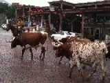Old Fortworth TX Stockyards Cattle Drive....tourists Freaking Everywhere