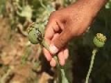 Opium Fields In Afghanistan - Part I