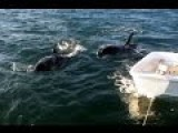 Orcas Swimming With Sailors