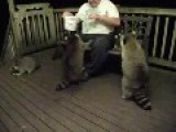 Obese Racoons Fed By Large Man With Big Heart