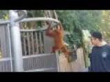 Orangutan Escapes Enclosure And Entertains Visitors At The Zoo