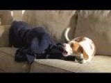Puppy Vs. Under-Blanket Dog: Maymo & Penny Play