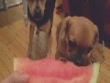 Puppy's First Time Eating Watermelon