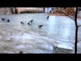 Pigeons Sliding On Ice