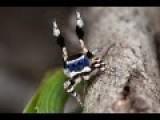 Peacock Spider 13 Maratus Personatus