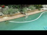 Pythons Wrestling In The Pool