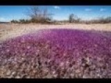 Purple Patch Of Mysterious Jelly-Like Spheres Found In Ariz. Desert