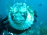 PUFFER FISH BITES DIVER