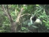 Panda Baby Climbs And Falls