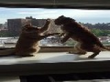 Pair Of Cats Mock Fight Like Boxers
