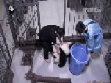 Panda Cubs Play With Their Zookeeper Friends