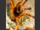Pterinochilus Murinus-Orange Baboon Spider,Mad As Hell