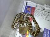 Python VS Hamster