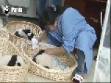 Panda Nannies Have The Happiest Job Ever