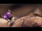 Peacock Spider 6 Maratus Mungaich