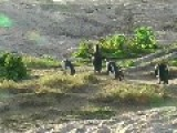 Penguins Assemble At Boulder Beach South Africa