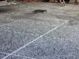 Pussycat Play With Mouse After Hunting
