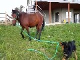 Pup Leads Trained Mustang Around Field