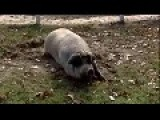 Pig Helps Save Cat From Fire...pork Is Just Amazing..mmmbacon