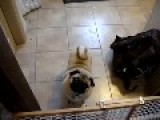 Pug REFUSES To Go To Bed....Screams!!!!