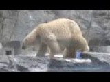Polar Bear Mother Saves Her Cub