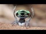Peacock Spider 5 Maratus Sarahae