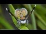 Peacock Spider 11 Maratus Pardus