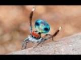 Peacock Spider 9 Maratus Amabilis